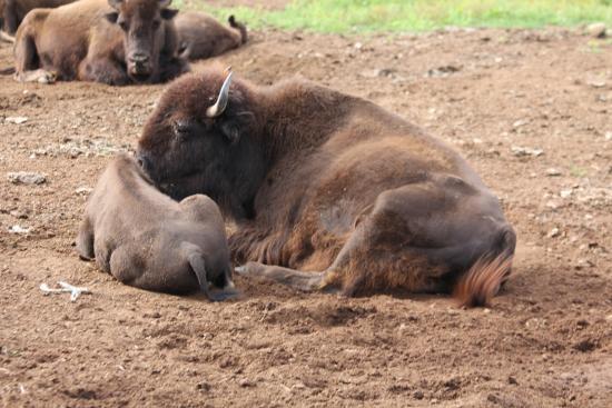 Montague, Canadá: Büffel