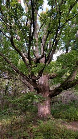 Van Raalte Farm: This magnificent sugar maple can be found near the north end of the farm near the barn.