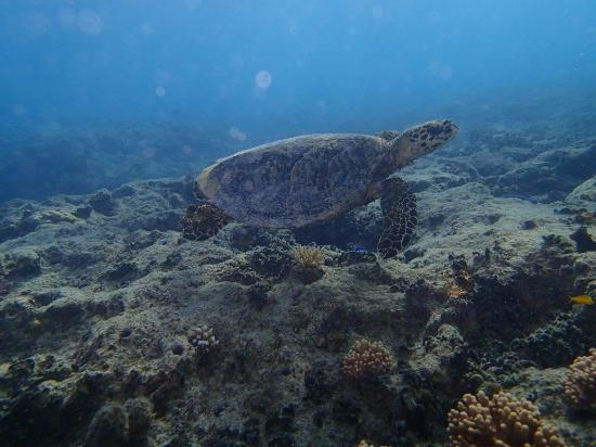 Navini Island Resort: Turtle