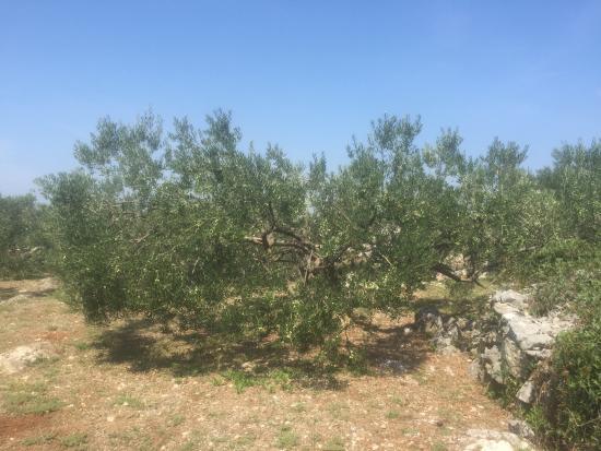 Stomorska, Kroatië: Owners olive trees