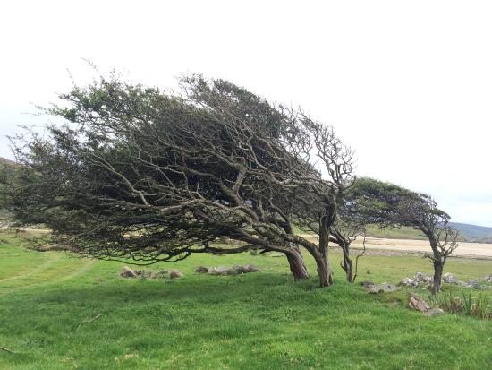 Silver Strand, ไอร์แลนด์: The trees are sculpted by the wind