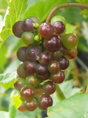 Jost Vineyards: Grape vines at Jost