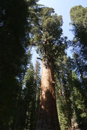 ‪General Sherman Tree‬