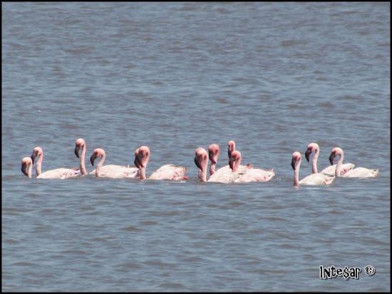 Sewri Jetty: Swimming Flamingos