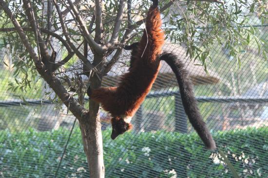 lemur casino