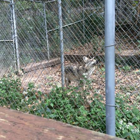pretty wolf picture of endangered wolf center eureka tripadvisor