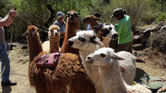 Llama Pack - Day Tours: Packing the llamas