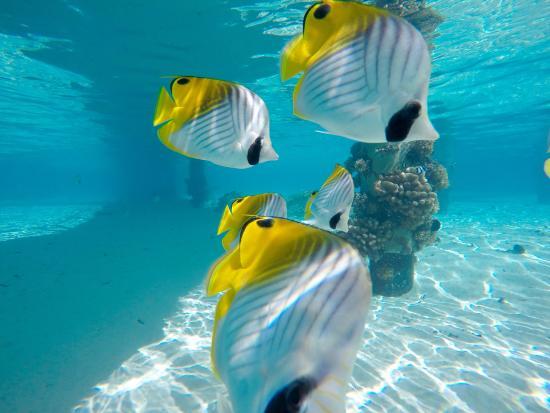 Hotel beach picture of intercontinental bora bora le for Bora bora fish