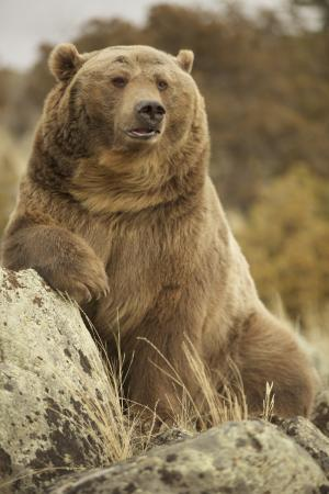 Montana Grizzly Encounter: Brutus The Bear