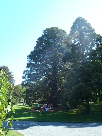 Giant sequoia on the grounds picture of blithewold mansion gardens arboretum bristol for Blithewold mansion gardens arboretum