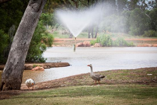 Charleville, Australia: Man made lake attracts birds to park.