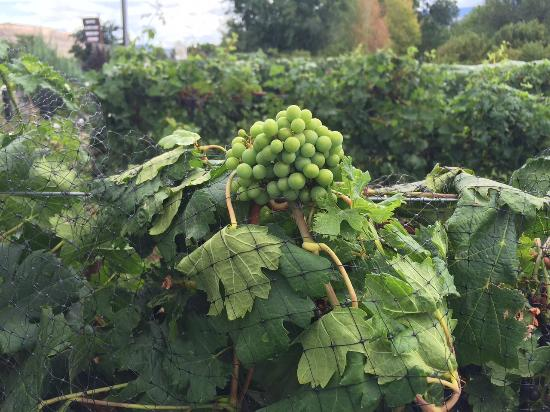 Palisade, Колорадо: Up close view of grapes at the winery