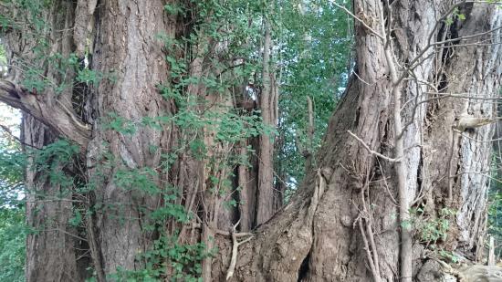 Oirase-cho, Japan: 幹が二つに分かれた大いちょう