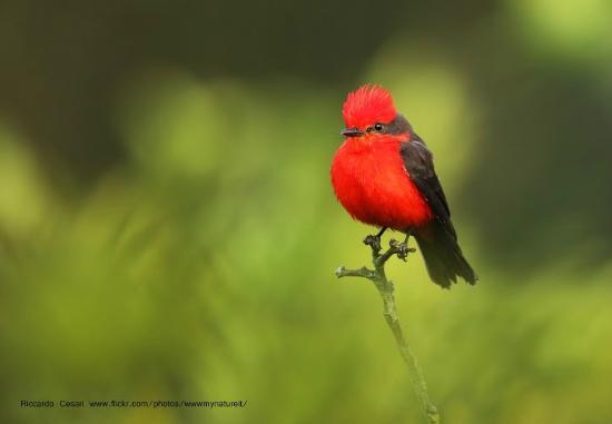 Puembo Birding Garden: vermillion flycatcher