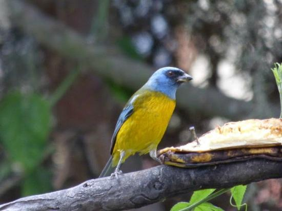 Puembo Birding Garden: Blue and Yellow Tanager