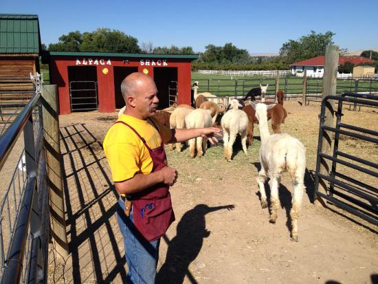 Palisade, CO: Mike and his alpacas