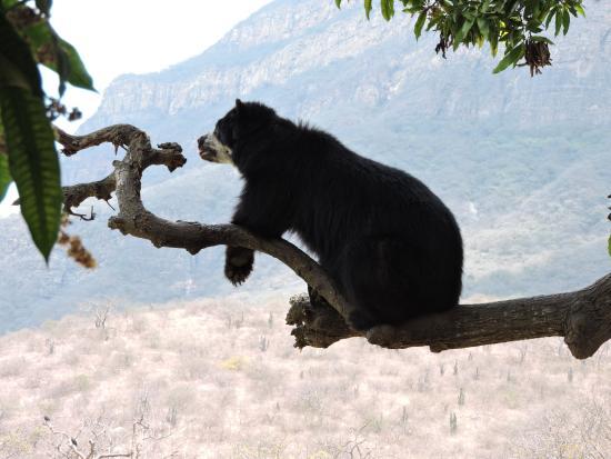 Tucume, Peru: Oso de anteojos subido en el árbol