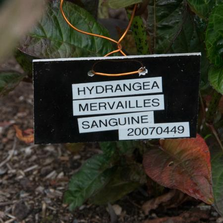 Port Logan, UK: Hydrangea Mervailles Sanguine