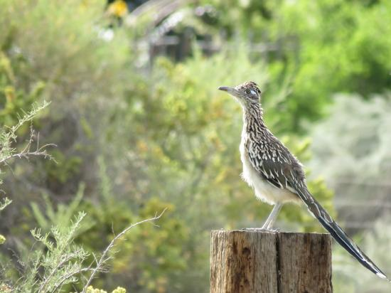 Корралес, Нью-Мексико: Roadrunner