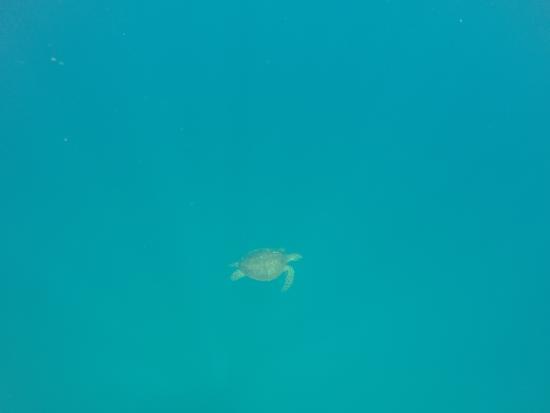 Fagamalo, Samoa: Turtle!