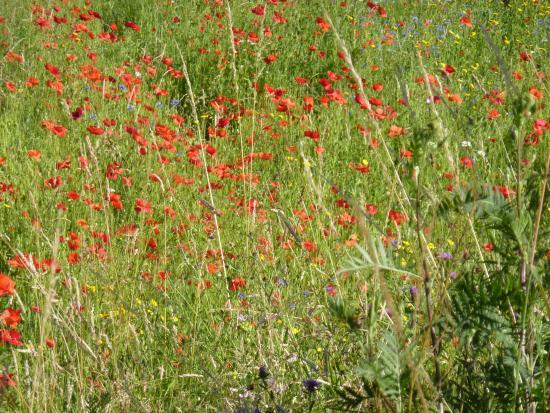 Belgien: Field of Poppys