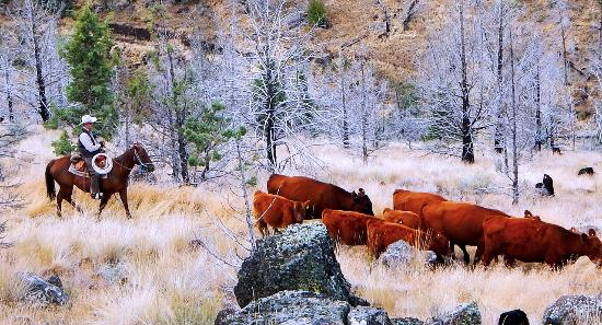 Steens Mountain Guest Ranch: Rounding up stray cattle