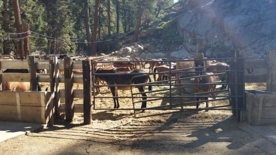Kennedy Meadows Resort & Pack Station: Horses in corral getting ready for the days ride