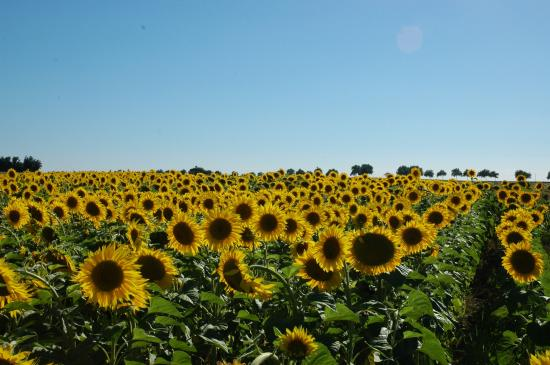 Mirabelle : Nearby sunflowers
