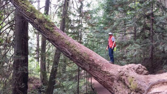 Nanaimo, Kanada: A giant tree along the trail