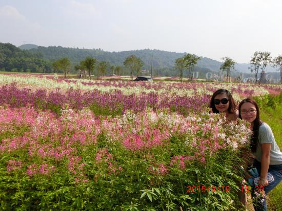 Caoxi Hot Spring: 距離曹溪溫泉度假村15分鐘車程,新建的大唐花海。2015年9月26日才正式開放,門票RMB100,一整片一整片的LAVENDER ,太陽花,波絲菊、據說完成規劃過千種花卉會進駐, 包括一公里長