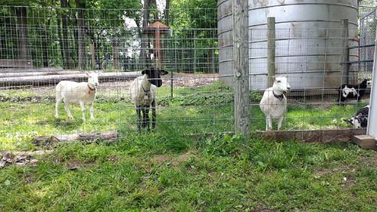 Collinsville, Ιλινόις: Friendly Neighborhood Goats