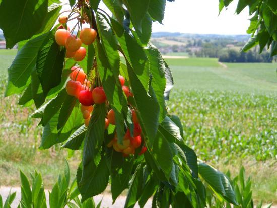 Seyches, Francia: cherry tree