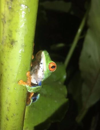Arenal Natura Parque Ecológico: Rana verde de ojos rojos