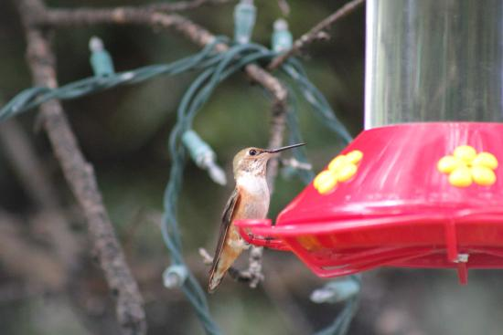 Cave Creek Ranch: Little Rufous