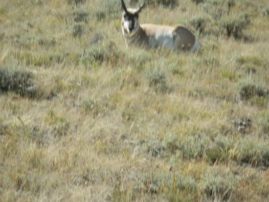 Jelm, WY: Elvis the lone pronghorn