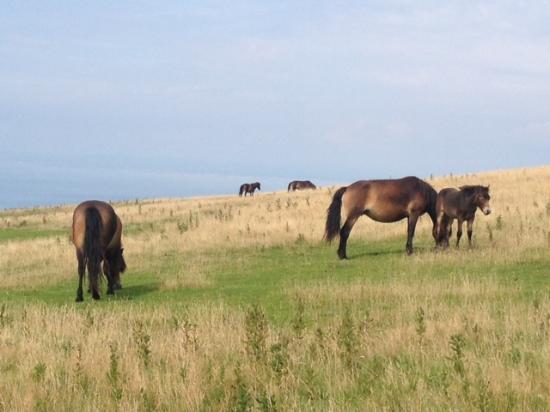 Exmoor Ulusal Parkı, UK: Wild Exmoor Ponies near Lynton