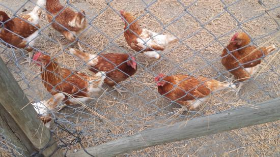 Summerland, Canada: Adorable chickens that are always looking for a handout