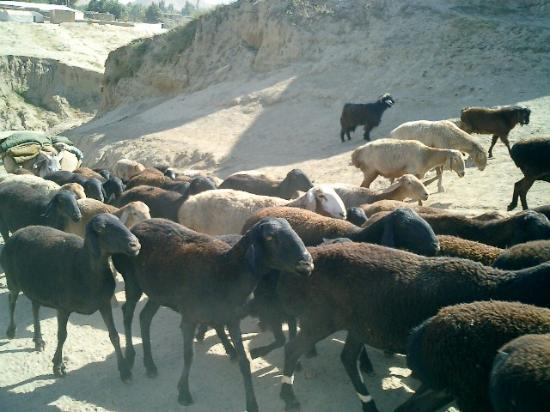 Faizabad, Afghanistan: Flock of sheep along the dirt road