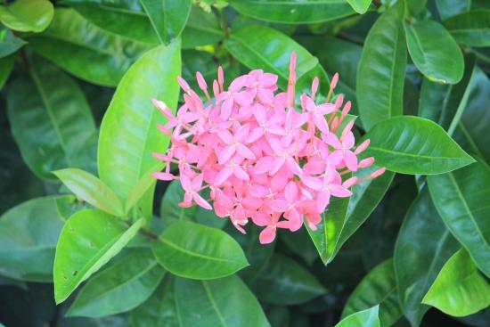 The Westin Golf Resort & Spa, Playa Conchal - An All-Inclusive Resort: Flower