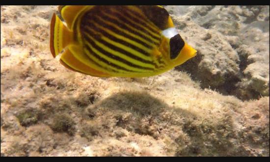 pesce farfalla fotografato a riva