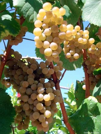 Moncao, Portugal: As Uvas