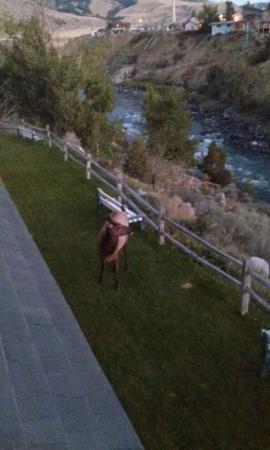 Yellowstone's Absaroka Lodge: More Local Elk!