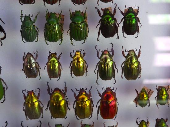 Daintree Entomological museum : One beetle, different colours - like liquid gold