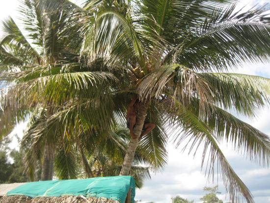 Palma di cocco foto di casa nancy pujol guanabo - Palma di cocco ...