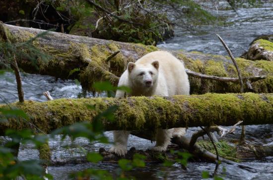Klemtu, Canada: Spirit Bear