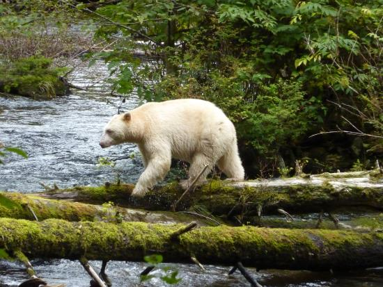 Klemtu, Kanada: Spirit Bear
