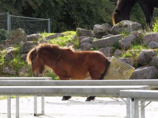 Ballymote, Irlanda: Es kommt auch mal in Pony in der Flugshow vorbei um sich zu kratzen...