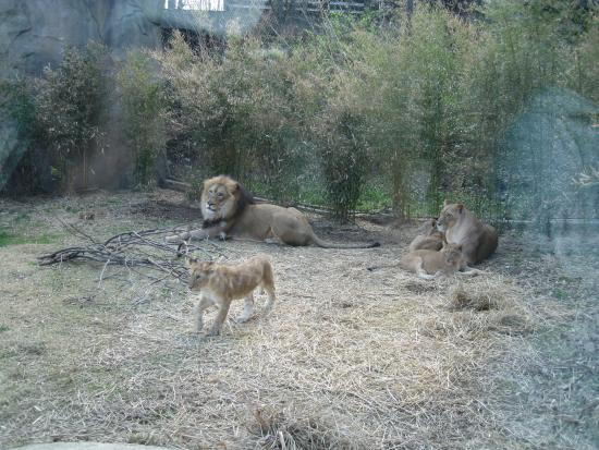 Lions Foto Di Cincinnati Zoo Botanical Garden Cincinnati Tripadvisor