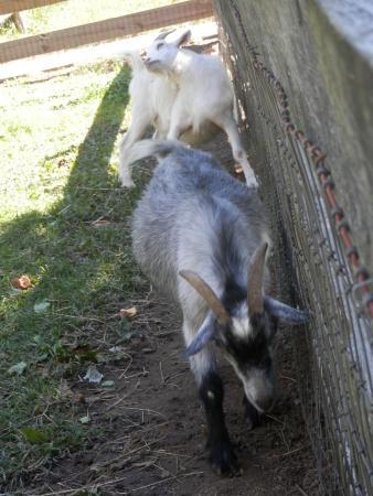 Stow, MA: Goats