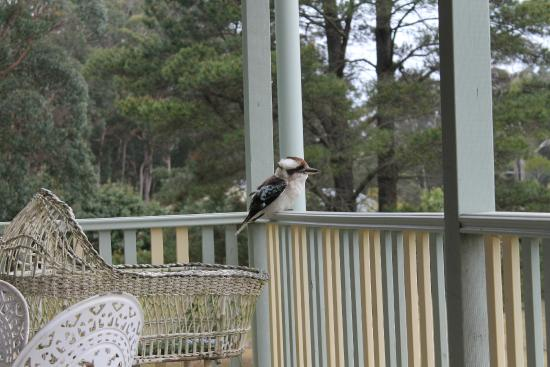 Morvern Valley Guesthouses: täglicher Besuch auf unserer Veranda, ein Kookaburra